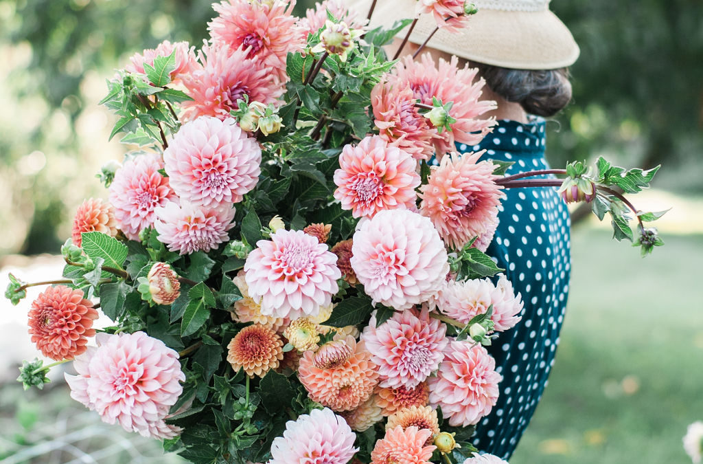 How To Grow Dahlias Root Design Company